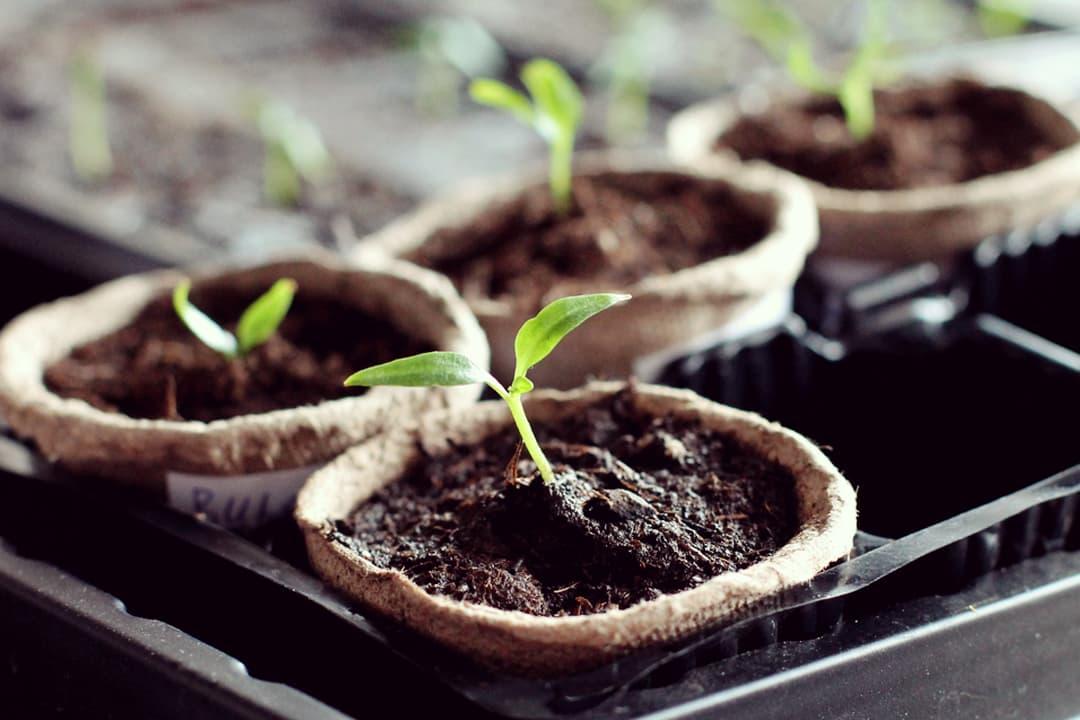 about_stevia_plant1-1