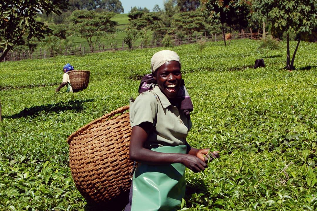 stevia_plantation-2