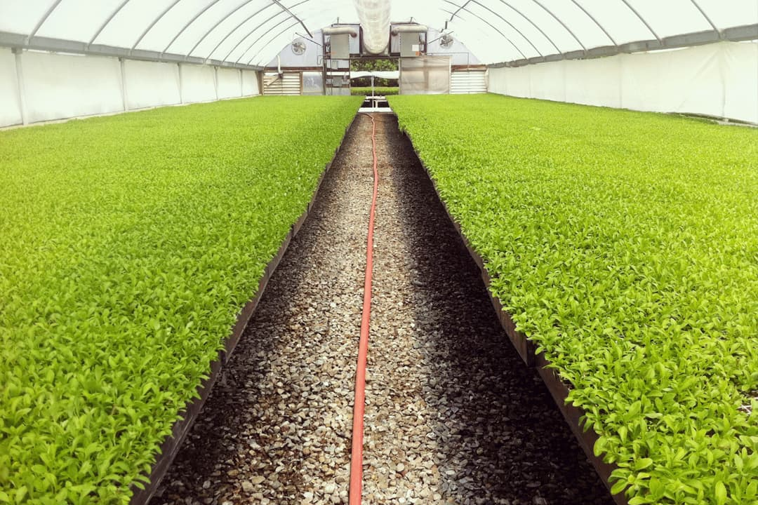 stevia_plantation2-1