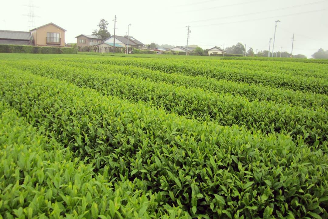 stevia_plantation3-1